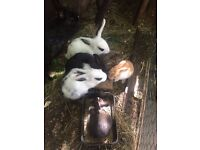 Lovely Dwarf Rabbits awaiting new homes!