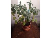 Lovely plant, called Silver or Aluminium plant in ceramic pot