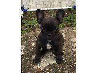 French bulldog puppy female