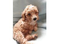Cockapoo f4 puppies