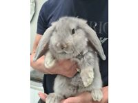 Giant French lop 10 chunky bunnies reserve now!