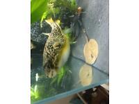 Mbu puffer - discus - peacock bass - stingray