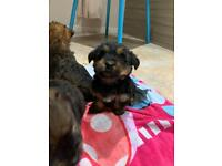 Yorkshire Terrier cross Jack Russell puppies