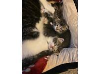 Silver & Black Tabby shorthair kittens
