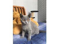 Solid Blue BSH kitten READY NOW