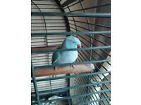Indian Ring Neck Parakeet - Female