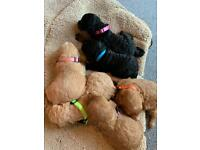 Six beautiful cockerpoo puppy's for sale
