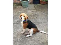 8 month old beagle dog.
