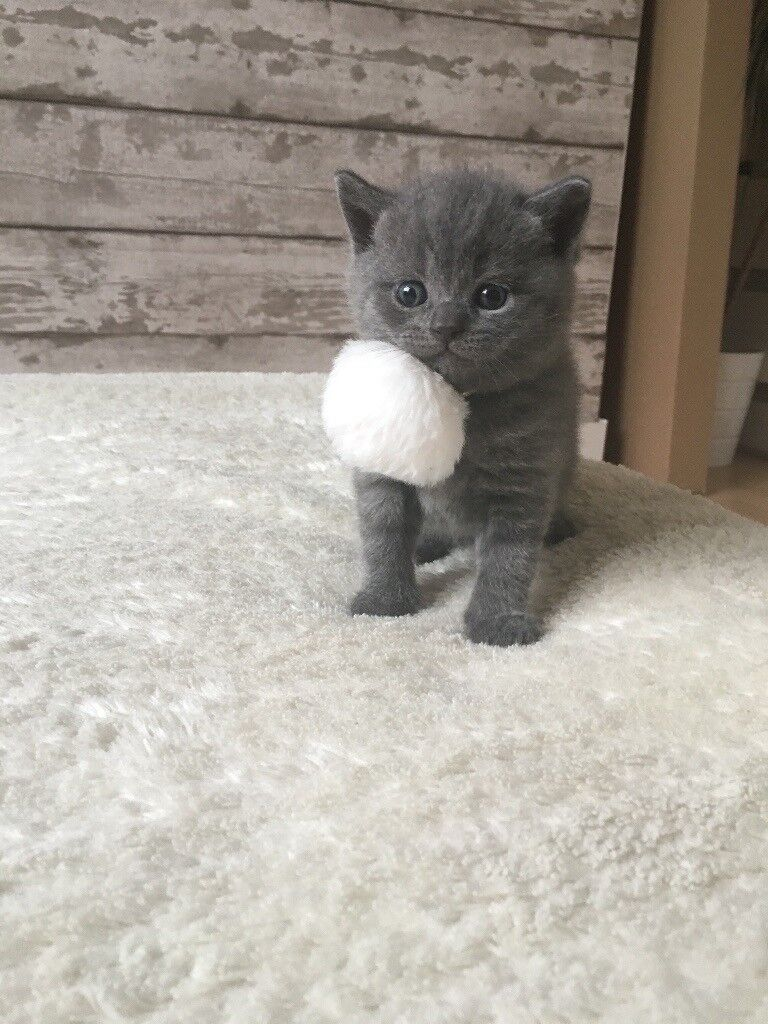 British shorthair kittens | in Southgate, London | Gumtree