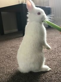 Netherland Dwarf bunny for sale