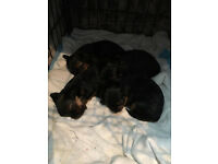 2 Yorkshire Terrier's Boy and Girl For sale