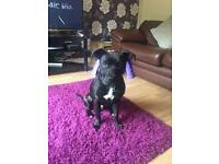 7 month old male Staffie