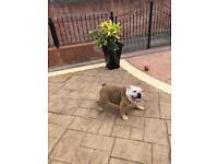 Kc reg British bulldog girl