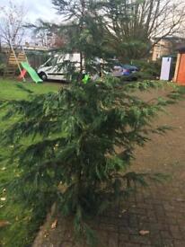 8ft Christmas tree