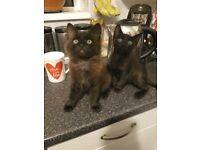 Persian x Bangle kittens