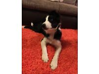 Friendly, loving 5 month puppy Border Collie