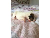 Parson Jack Russell X Terrier puppies