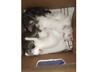 3 Happy, Healthy, Family-Friendly Kittens **Ready Now**