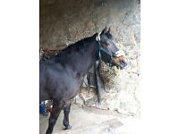 14.2 gelding for part loan