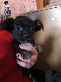 5 chinhauhua puppies for sale
