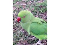 Parrot Derby
