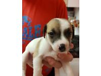 5 Staffy x Jack Russell puppies