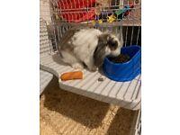 Rabbit with indoor cage £40
