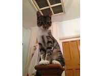 MISSING/LOST CAT: Tabby cat with white bits - young small & slim missing from Enfield Since 29 May