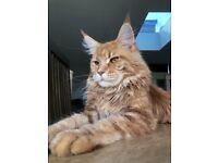 Maine coon in England | Cats & Kittens for Sale - Gumtree