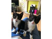 Two black and white kittens for sale