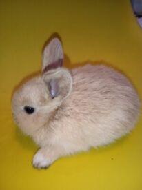 Baby Mini Lop for Sale