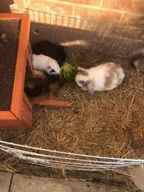 Guinea pigs and rabbits free to good home