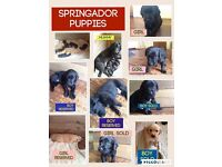 Springador puppies for sale £550