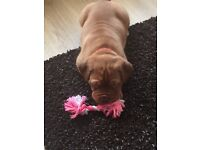 KC female Dog de Bordeaux pup. Ready now. Fully vaccinated and microchipped. Ring for full info.