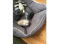Half Persian kitten