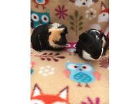 Pair of cute guinea pig boars