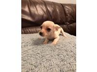 Chihuahua x Jack Russel puppies for sale