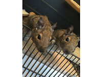 2 adorable degus for sale