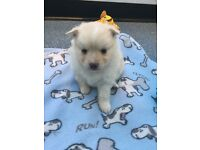 Gorgeous Pomchi boy puppies