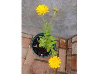 Nice Marigold plant