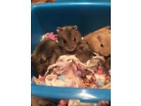 Baby dwarf hamsters