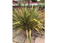 Large Outdoor Plants for Sale