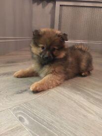 Pomeranian puppy Ready Now