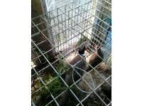Missing pheasant