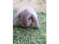 Rabbit Babies Mini Lops