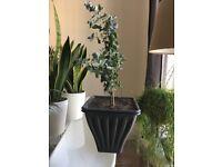 Eucalyptus Gunnii (40 cm approximately, 1 House Plant, Pot size: Height: 20cm, Width: 21.5cm)