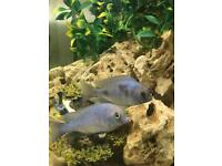 Fish for sale cichlids