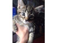 tabby kittens 9 weeks one left now