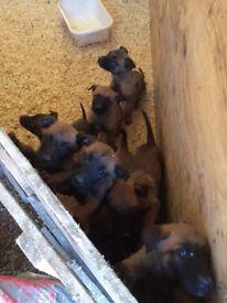 Belgien Mali puppies for sale