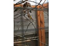 Goldfinches for sale